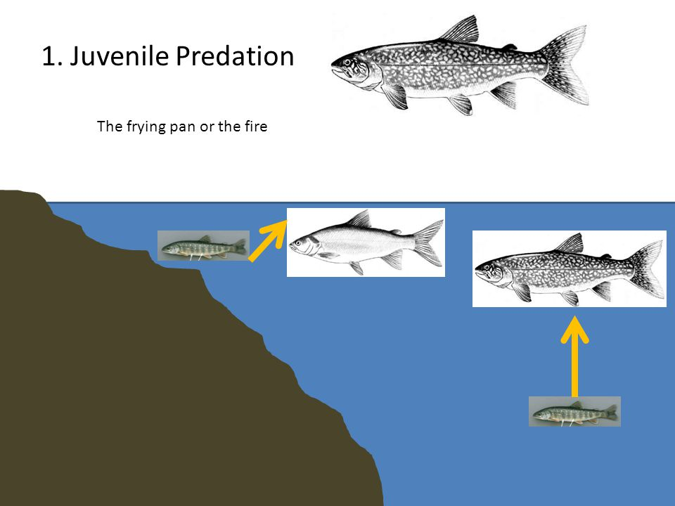 1. Juvenile Predation The frying pan or the fire