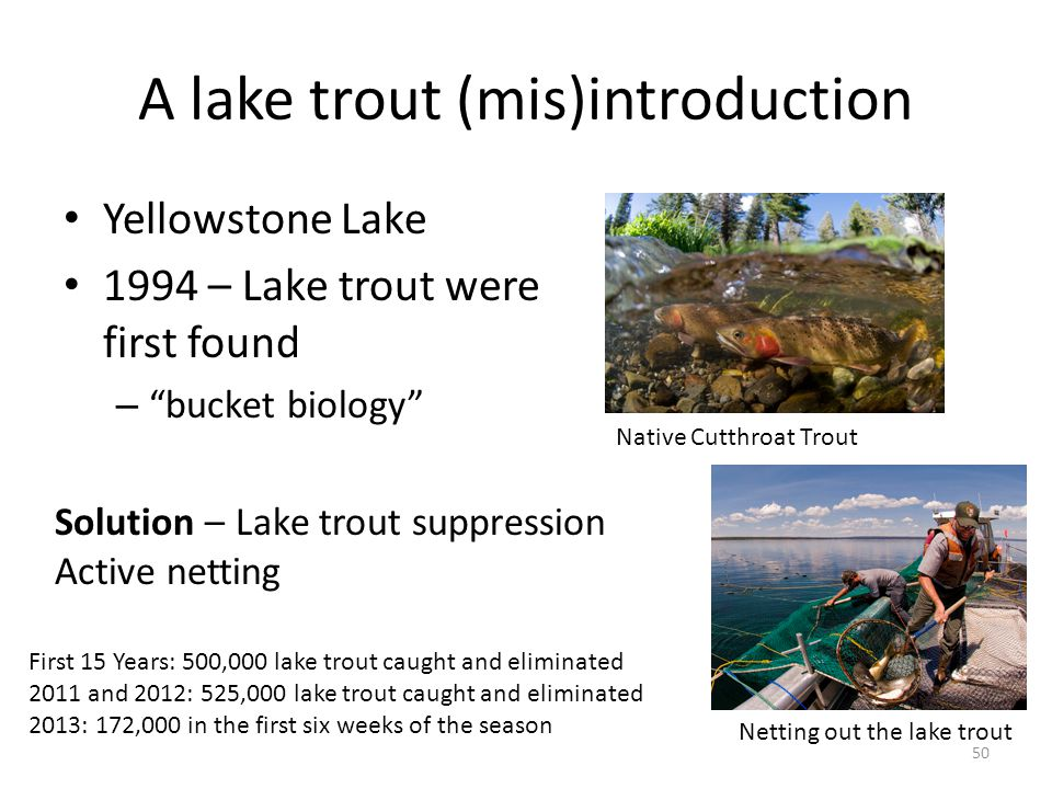 A lake trout (mis)introduction Yellowstone Lake 1994 – Lake trout were first found – bucket biology 50 Native Cutthroat Trout Netting out the lake trout First 15 Years: 500,000 lake trout caught and eliminated 2011 and 2012: 525,000 lake trout caught and eliminated 2013: 172,000 in the first six weeks of the season Solution – Lake trout suppression Active netting