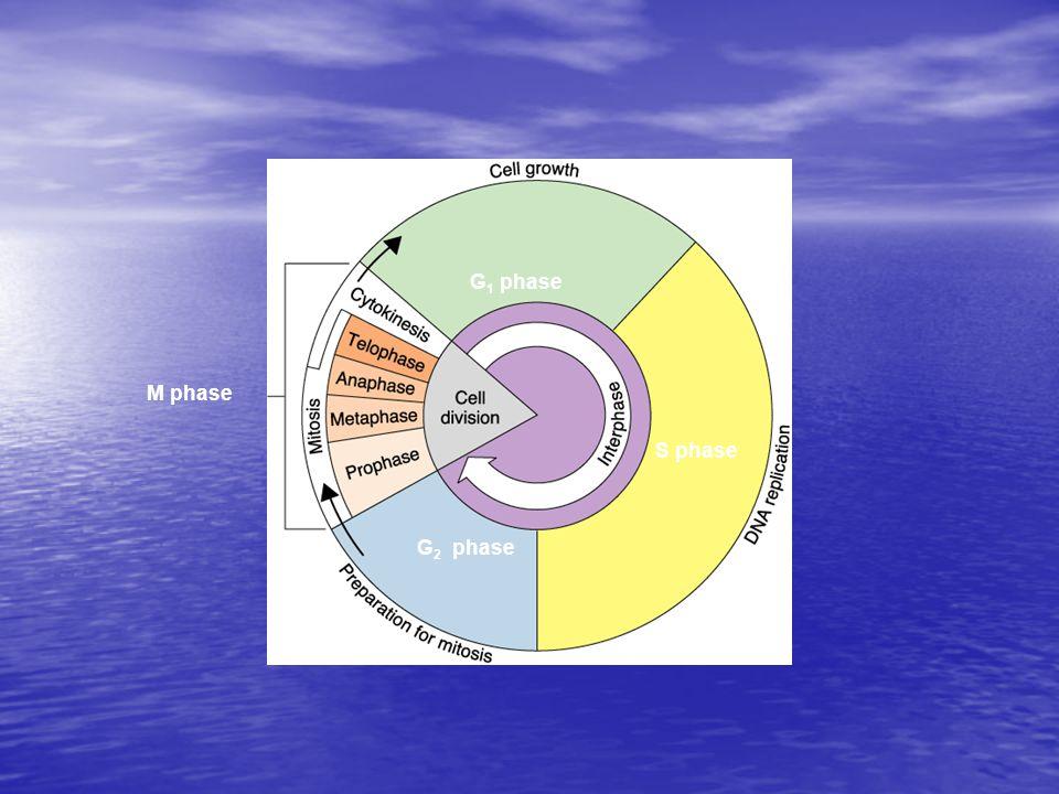 M phase G 2 phase S phase G 1 phase