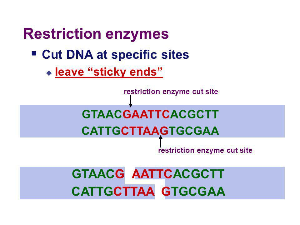 """Cutting DNA  DNA """"scissors""""  enzymes that cut DNA  restriction enzymes  used by bacteria to cut up DNA of attacking viruses  EcoRI, HindIII, BamH"""