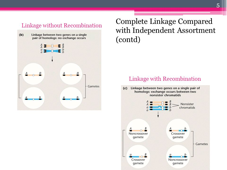 5 Linkage with Recombination Linkage without Recombination Complete Linkage Compared with Independent Assortment (contd)