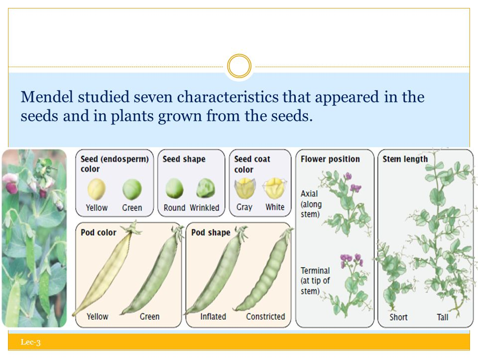 Mendel studied seven characteristics that appeared in the seeds and in plants grown from the seeds.