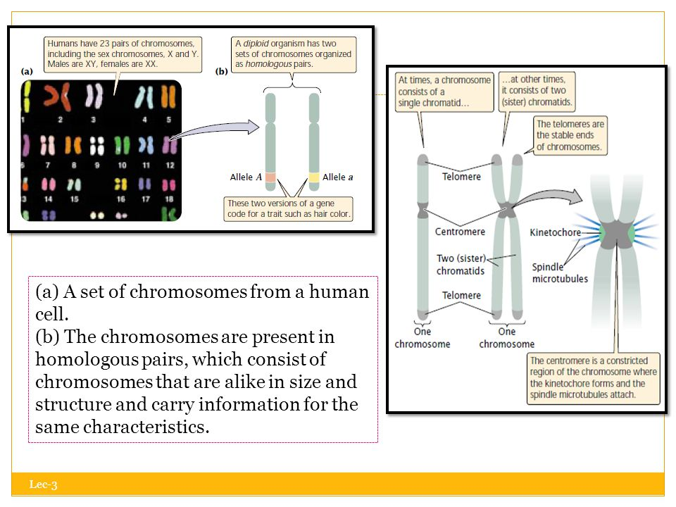 Lec-3  A functional chromosome has three essential elements: a centromere, a pair of telomeres, and origins of replication.