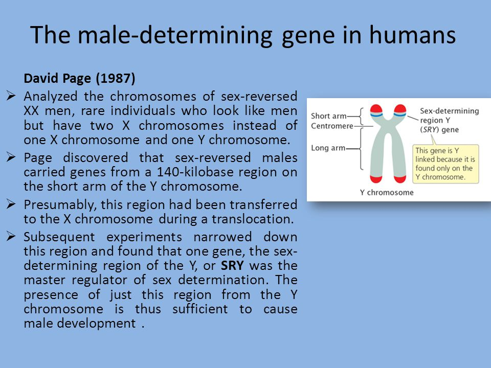 The SRY Gene How the Y chromosome determines sex: The SRY gene, located on the Y chromosome, is the primary determinant of sexual development.