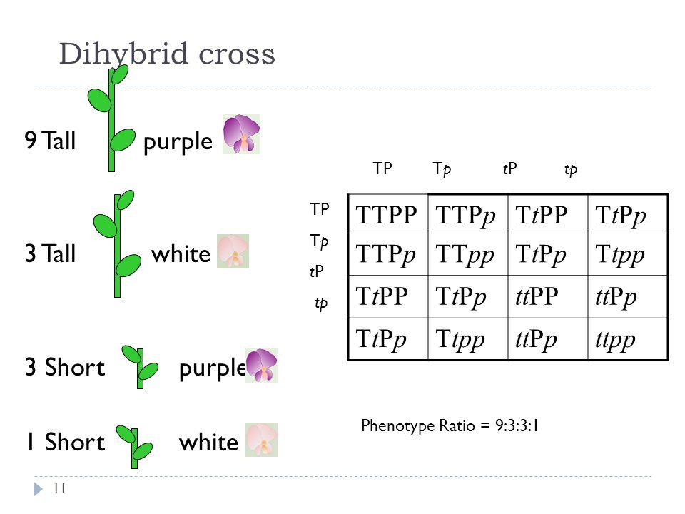 Dihybrid cross 9 Tall purple 3 Tall white 3 Short purple 1 Short white TTPPTTPpTtPPTtPpTtPp TTPpTTppTtPpTtPpTtpp TtPPTtPpTtPpttPPttPp TtPpTtPpTtppttPp