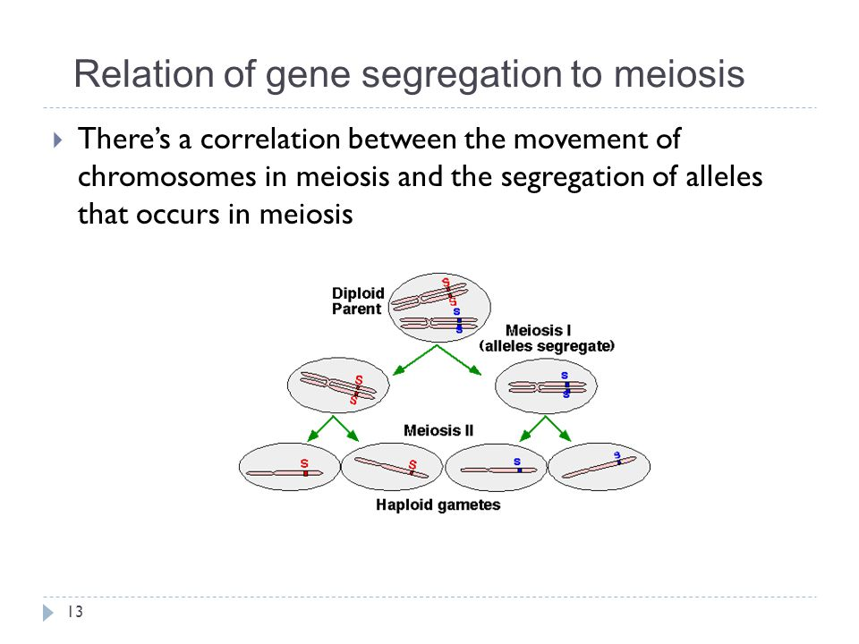 Relation of gene segregation to meiosis  There's a correlation between the movement of chromosomes in meiosis and the segregation of alleles that occ