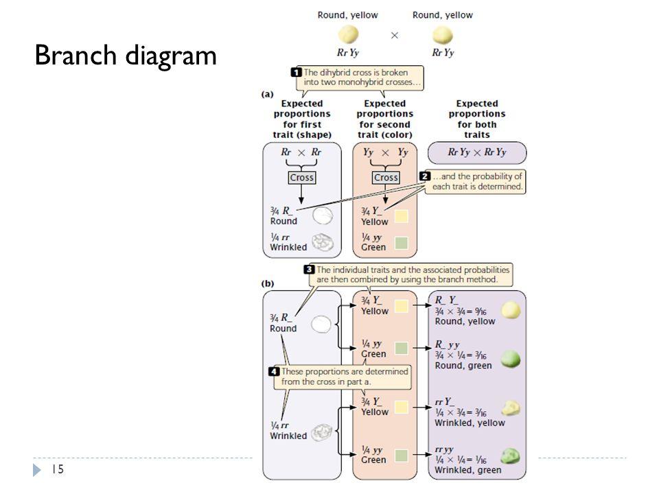 Branch diagram 15