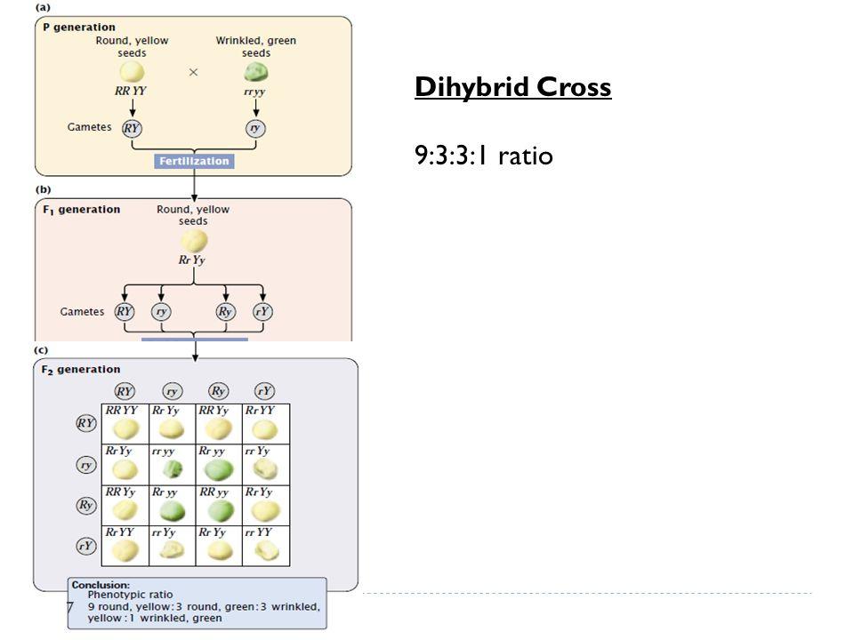 Dihybrid Cross 9:3:3:1 ratio 7