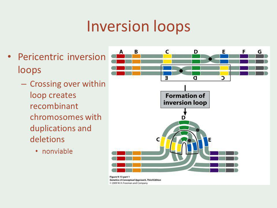 Inversion loops Pericentric inversion loops – Crossing over within loop creates recombinant chromosomes with duplications and deletions nonviable