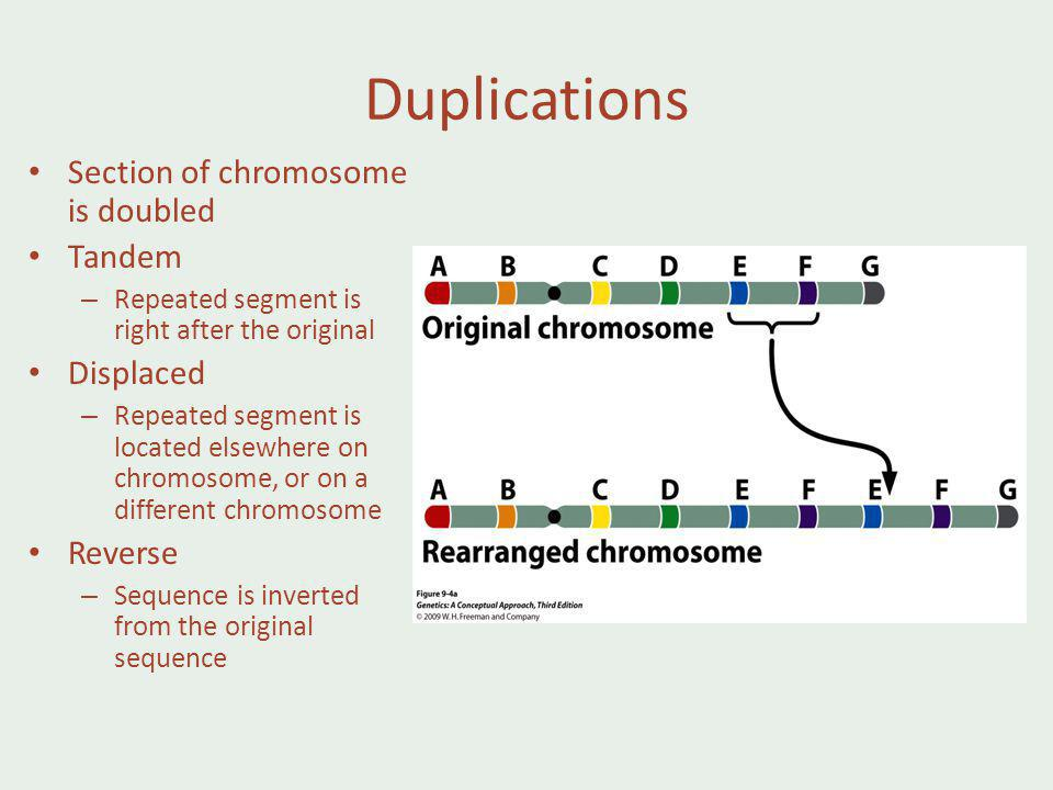 Duplications Section of chromosome is doubled Tandem – Repeated segment is right after the original Displaced – Repeated segment is located elsewhere