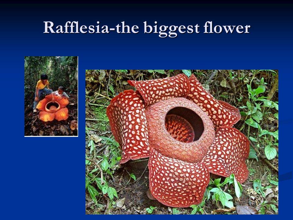 Rafflesia-the biggest flower