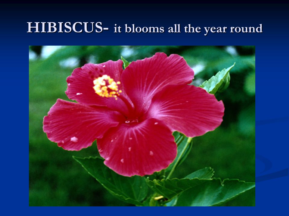 HIBISCUS - it blooms all the year round