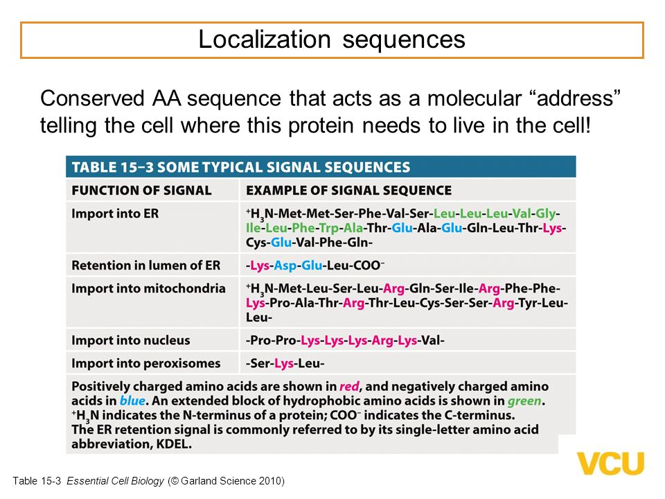 Table 15-3 Essential Cell Biology (© Garland Science 2010) Signal Sequences - direct proteins to correct organelle Localization sequences Conserved AA sequence that acts as a molecular address telling the cell where this protein needs to live in the cell!