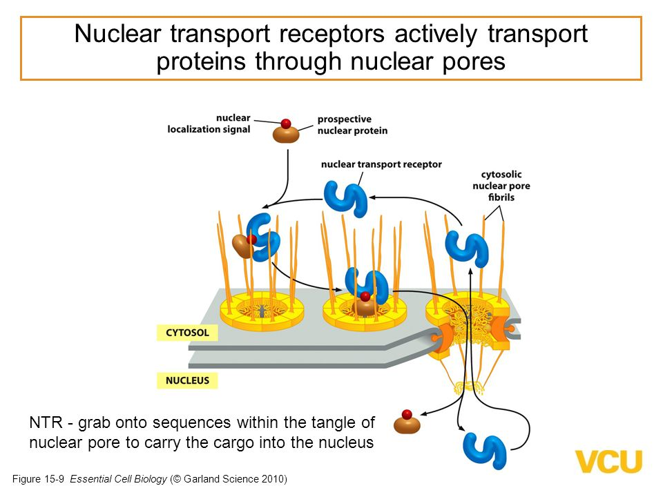 Figure 15-9 Essential Cell Biology (© Garland Science 2010) NTR - grab onto sequences within the tangle of nuclear pore to carry the cargo into the nucleus Nuclear transport receptors actively transport proteins through nuclear pores