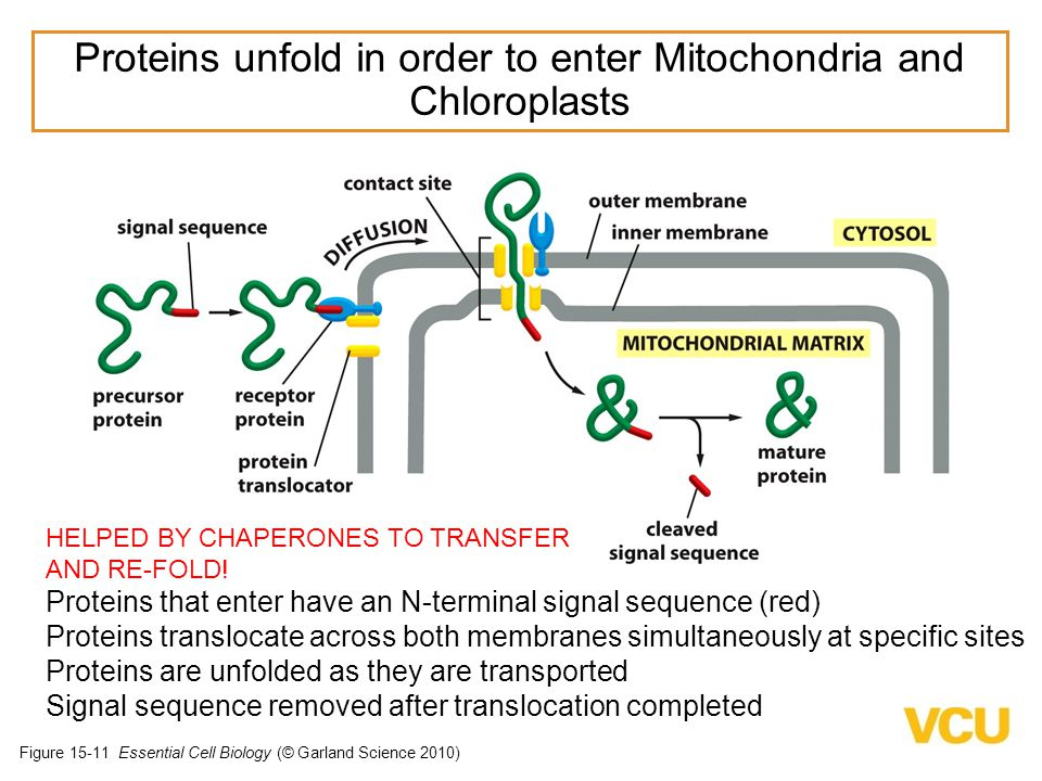 Figure 15-11 Essential Cell Biology (© Garland Science 2010) Proteins that enter have an N-terminal signal sequence (red) Proteins translocate across both membranes simultaneously at specific sites Proteins are unfolded as they are transported Signal sequence removed after translocation completed Proteins unfold in order to enter Mitochondria and Chloroplasts HELPED BY CHAPERONES TO TRANSFER AND RE-FOLD!