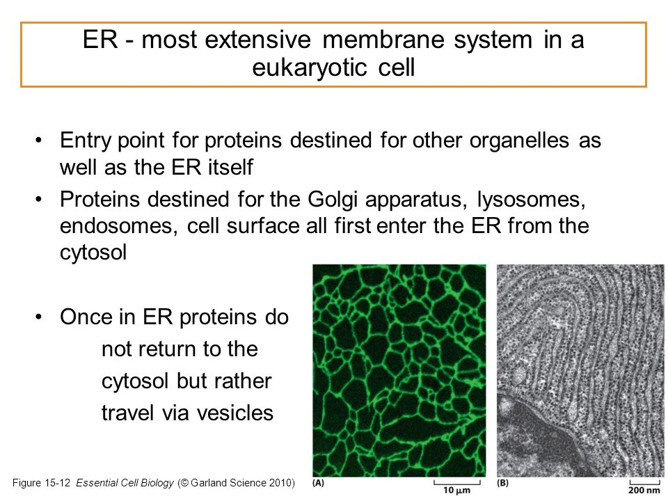 Entry point for proteins destined for other organelles as well as the ER itself Proteins destined for the Golgi apparatus, lysosomes, endosomes, cell surface all first enter the ER from the cytosol Once in ER proteins do not return to the cytosol but rather travel via vesicles © Sarah E Golding PhD.