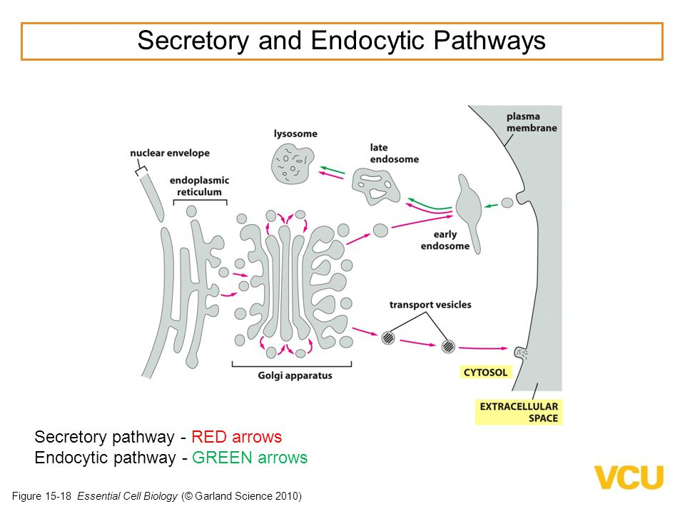 Figure 15-18 Essential Cell Biology (© Garland Science 2010) Secretory pathway - RED arrows Endocytic pathway - GREEN arrows Secretory and Endocytic Pathways