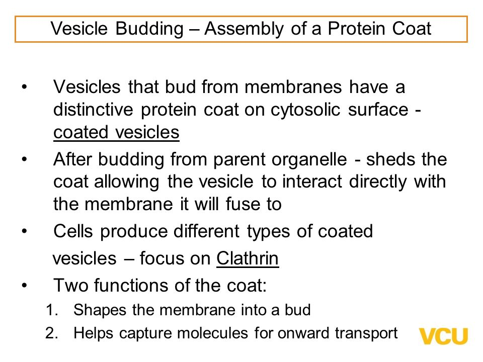 Vesicles that bud from membranes have a distinctive protein coat on cytosolic surface - coated vesicles After budding from parent organelle - sheds the coat allowing the vesicle to interact directly with the membrane it will fuse to Cells produce different types of coated vesicles – focus on Clathrin Two functions of the coat: 1.Shapes the membrane into a bud 2.Helps capture molecules for onward transport Vesicle Budding – Assembly of a Protein Coat