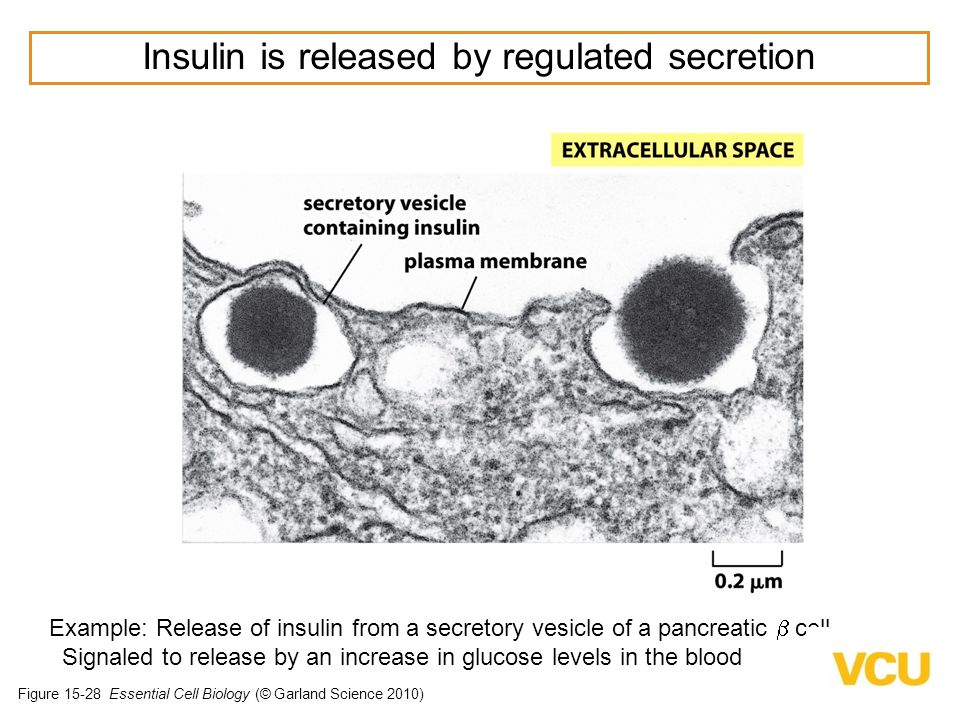 Figure 15-28 Essential Cell Biology (© Garland Science 2010) Example: Release of insulin from a secretory vesicle of a pancreatic  cell Signaled to release by an increase in glucose levels in the blood Insulin is released by regulated secretion