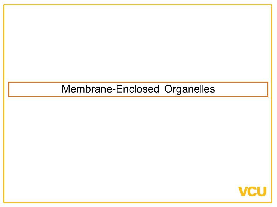 Membrane-Enclosed Organelles