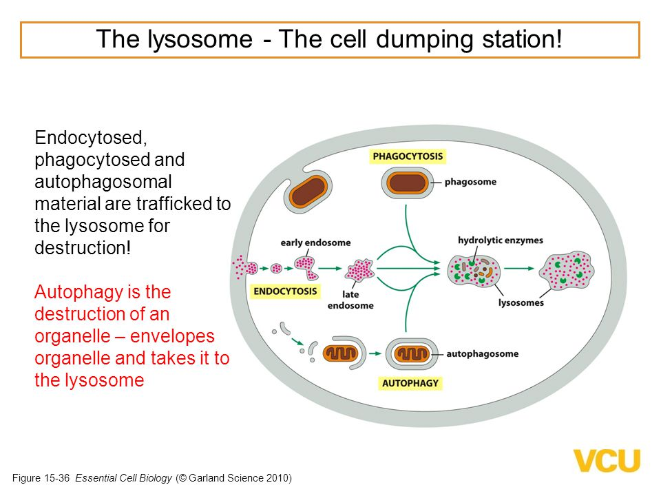 Figure 15-36 Essential Cell Biology (© Garland Science 2010) The lysosome - The cell dumping station.