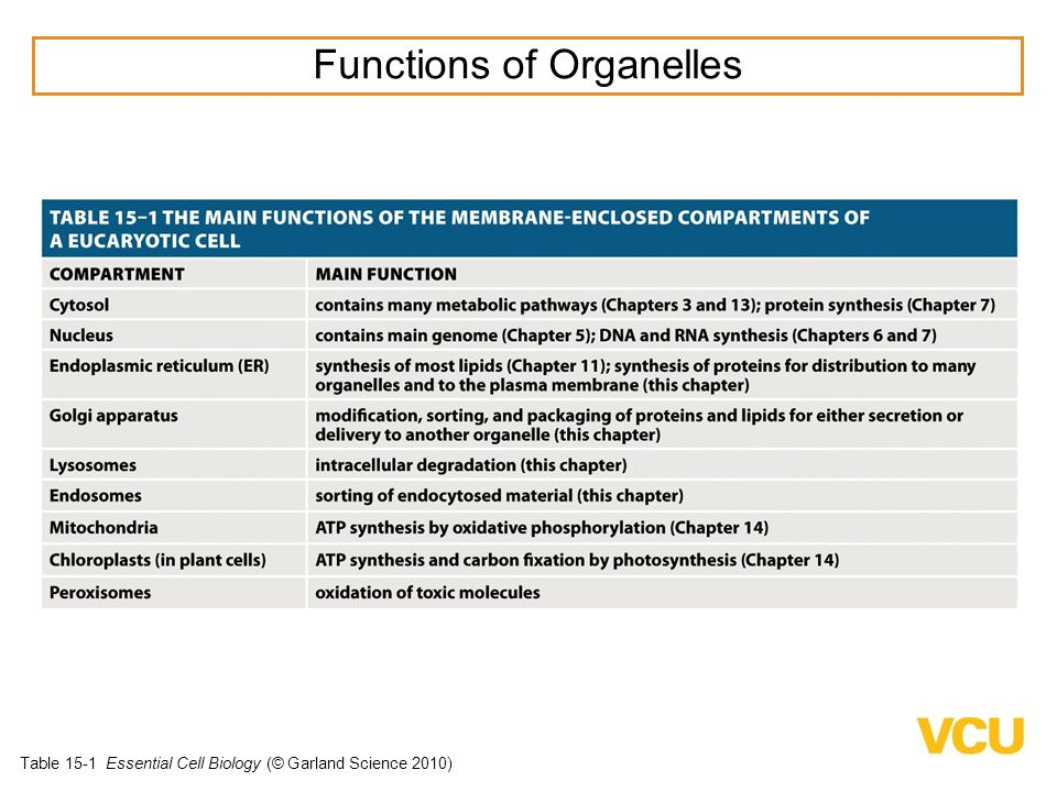 Table 15-1 Essential Cell Biology (© Garland Science 2010) Functions of Organelles