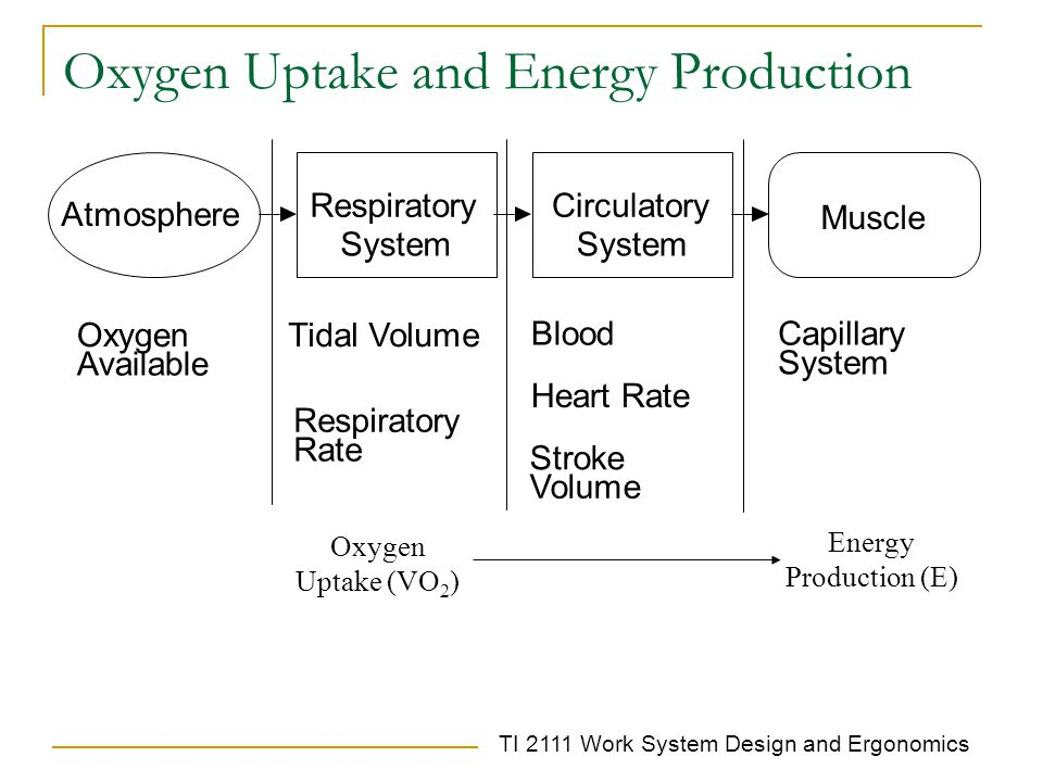 TI 2111 Work System Design and Ergonomics Oxygen Uptake and Energy Production Respiratory System Circulatory System Muscle Oxygen Available Tidal Volume Respiratory Rate Blood Stroke Volume Heart Rate Capillary System Atmosphere Oxygen Uptake (VO 2 ) Energy Production (E)