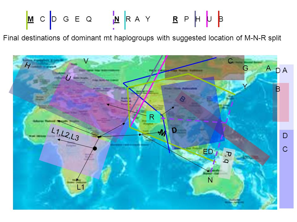 L1 L1,L2,L3 H U N B M D DCDC A B A C G ED Y V P, q D R R P H U BM C D G E QN R A Y Final destinations of dominant mt haplogroups with suggested location of M-N-R split