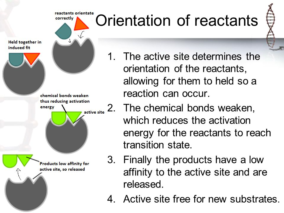 1.The active site determines the orientation of the reactants, allowing for them to held so a reaction can occur.