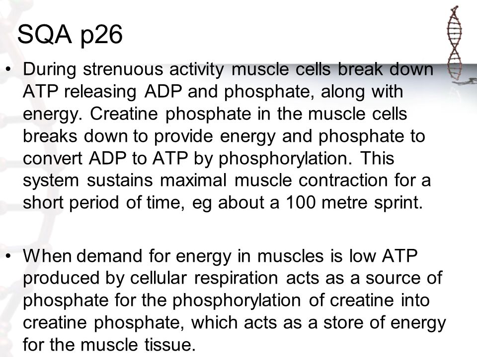 SQA p26 During strenuous activity muscle cells break down ATP releasing ADP and phosphate, along with energy. Creatine phosphate in the muscle cells b
