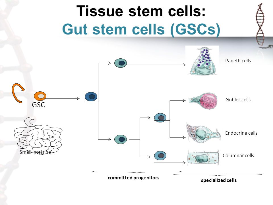 Tissue stem cells: Gut stem cells (GSCs) GSC Small intestine committed progenitors Paneth cells Columnar cells Goblet cells Endocrine cells specialize