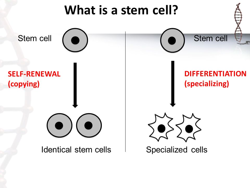 What is a stem cell? Identical stem cells Stem cell SELF-RENEWAL (copying) Stem cell Specialized cells DIFFERENTIATION (specializing)
