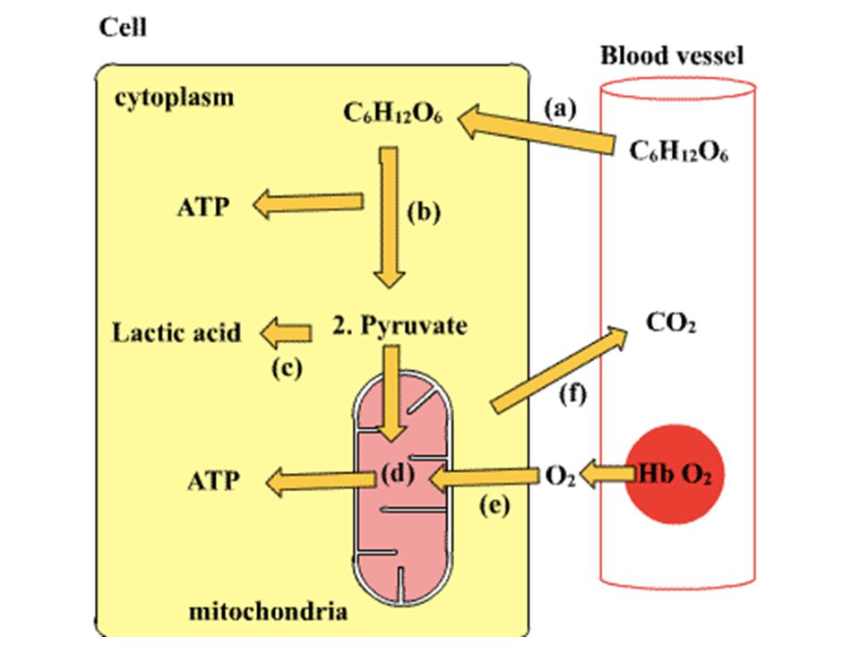 The electrons from NADH and FADH 2 travel down the electron transport chain to oxygen Energy released by the electrons is used to pump H + (protons) into the space between the mitochondrial membranes In chemiosmosis, the H + ions diffuse back through the inner membrane through ATP synthase, which capture the energy to make ATP Chemiosmosis powers most ATP production