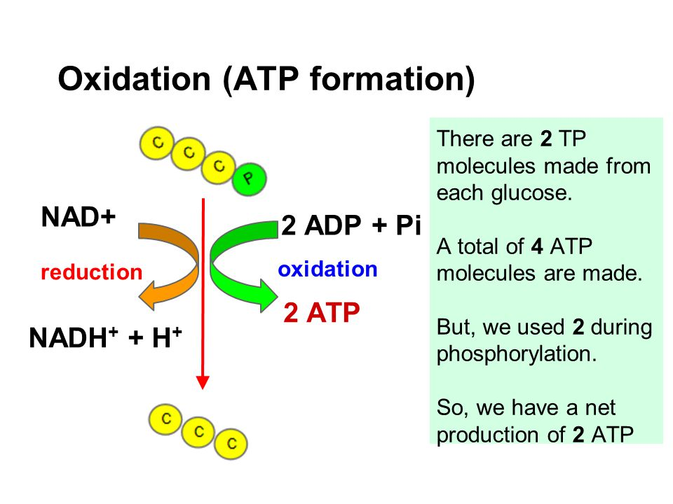 Oxidation (ATP formation) NAD+ NADH + + H + 2 ADP + Pi 2 ATP There are 2 TP molecules made from each glucose. A total of 4 ATP molecules are made. But