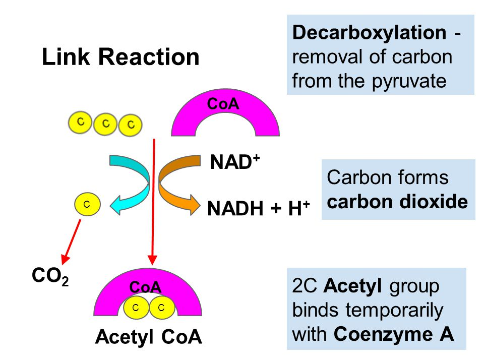 Link Reaction CoA NAD + NADH + H + C CO 2 CC CoA Acetyl CoA Decarboxylation - removal of carbon from the pyruvate Carbon forms carbon dioxide 2C Acety