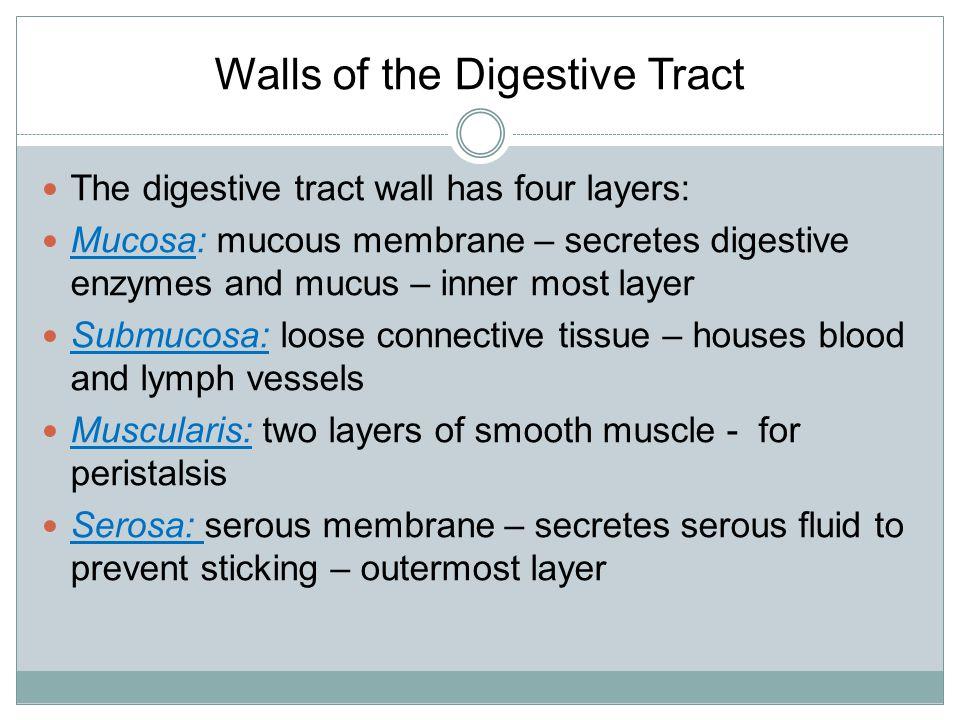 Muscularis Mucosa Submucosa Serosa