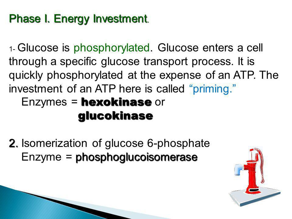 Phase I. Energy Investment. 1- Glucose is phosphorylated. Glucose enters a cell through a specific glucose transport process. It is quickly phosphoryl