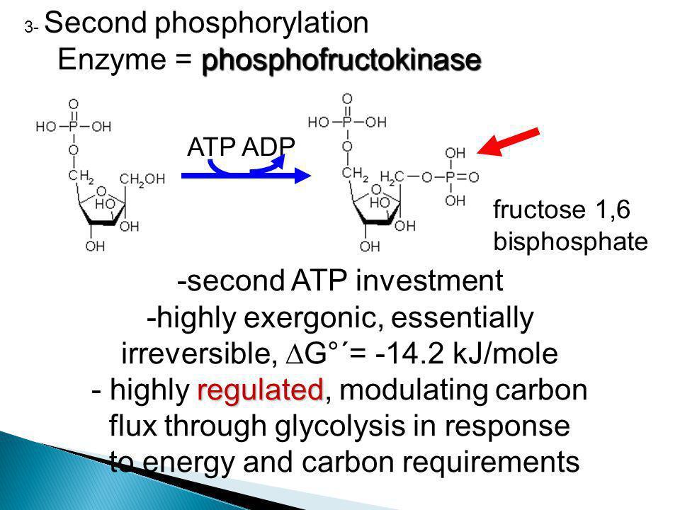 3- Second phosphorylation phosphofructokinase Enzyme = phosphofructokinase -second ATP investment -highly exergonic, essentially irreversible,  G°´=