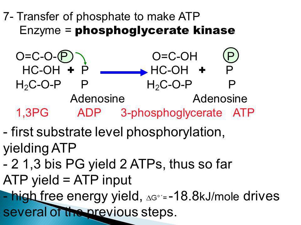 7- Transfer of phosphate to make ATP Enzyme = phosphoglycerate kinase - first substrate level phosphorylation, yielding ATP - 2 1,3 bis PG yield 2 ATP