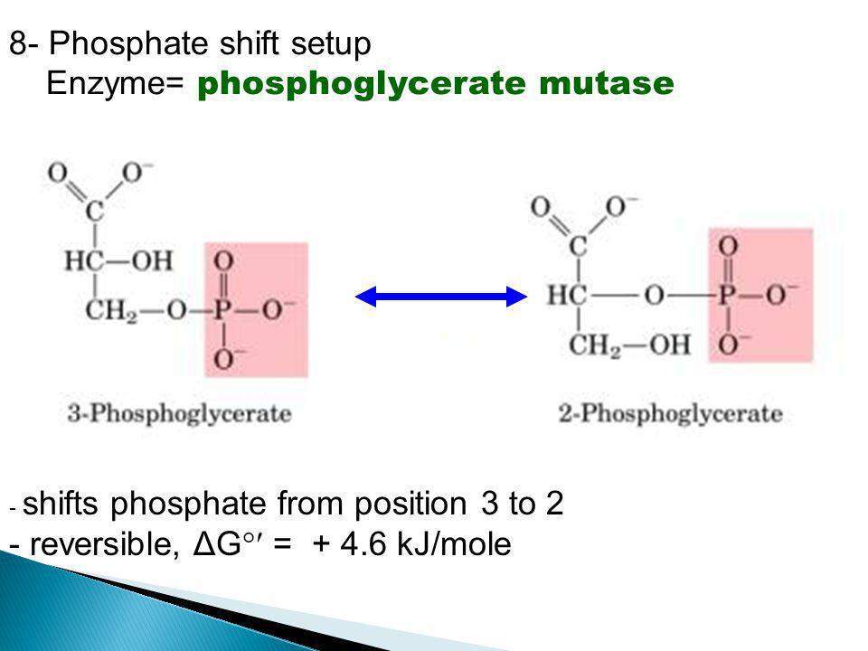 8- Phosphate shift setup Enzyme= phosphoglycerate mutase - shifts phosphate from position 3 to 2 - reversible, ΔG  = + 4.6 kJ/mole