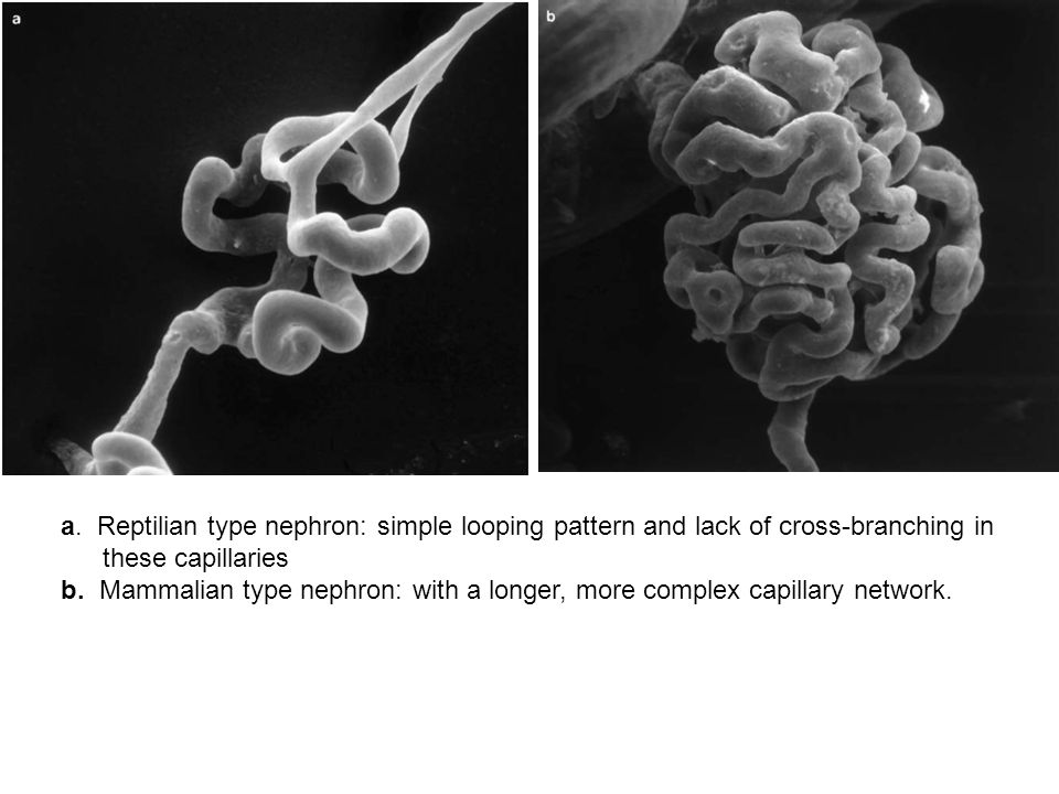 a. Reptilian type nephron: simple looping pattern and lack of cross-branching in these capillaries b. Mammalian type nephron: with a longer, more comp