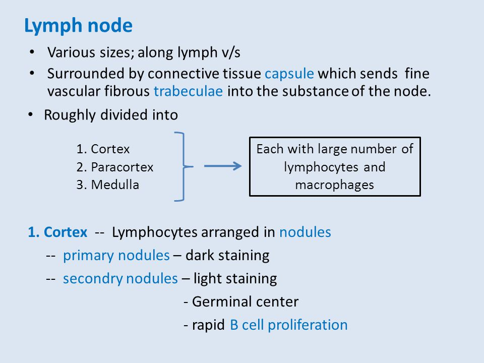 Lymph node Various sizes; along lymph v/s Surrounded by connective tissue capsule which sends fine vascular fibrous trabeculae into the substance of t