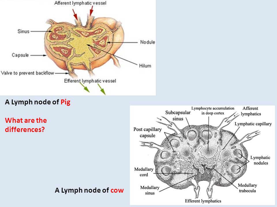A Lymph node of cow A Lymph node of Pig What are the differences?