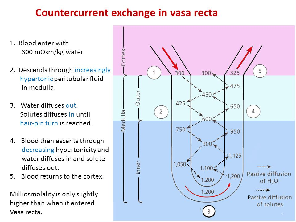 Countercurrent exchange in vasa recta 1.Blood enter with 300 mOsm/kg water 2.Descends through increasingly hypertonic peritubular fluid in medulla. 3.