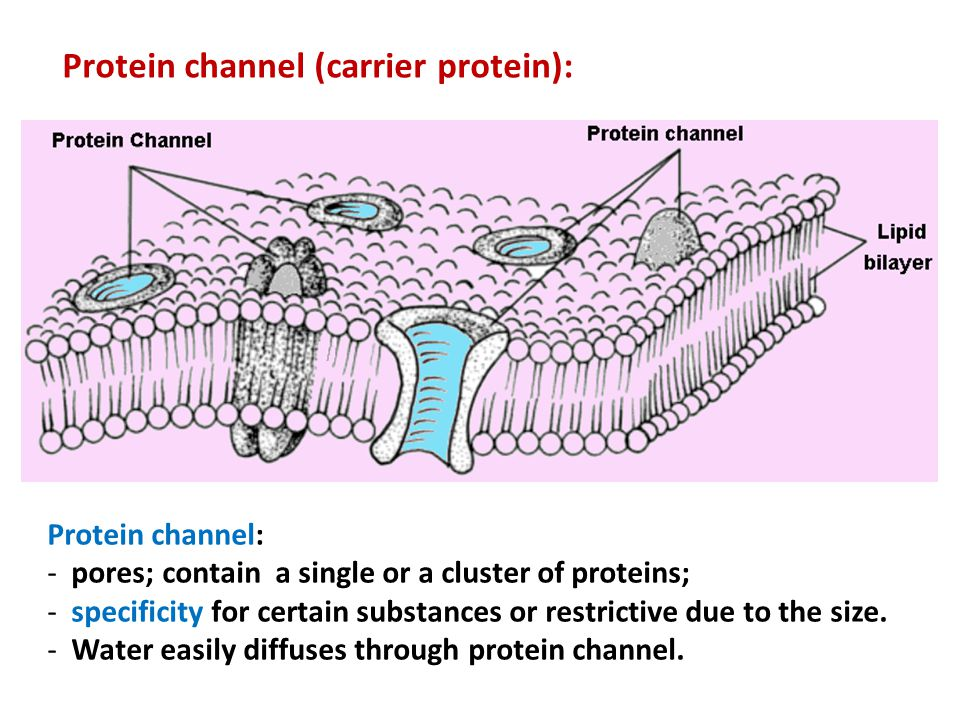 Protein channel: - pores; contain a single or a cluster of proteins; - specificity for certain substances or restrictive due to the size. - Water easi