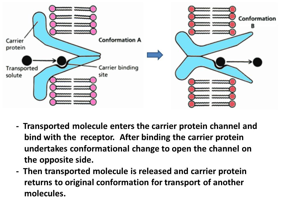 - Transported molecule enters the carrier protein channel and bind with the receptor. After binding the carrier protein undertakes conformational chan