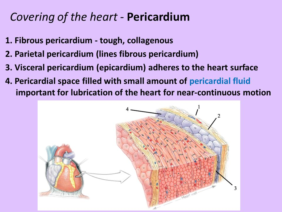 Covering of the heart - Pericardium 1. Fibrous pericardium - tough, collagenous 2. Parietal pericardium (lines fibrous pericardium) 3. Visceral perica