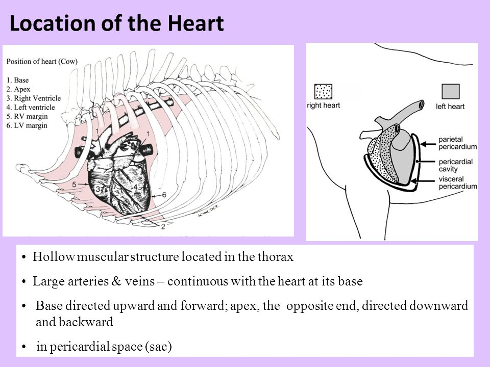 Structure and Function of Valves = Mitral valve 4 sets of valves Prevent backflow of blood Close passively under blood pressure Heart sounds produced by valve closure
