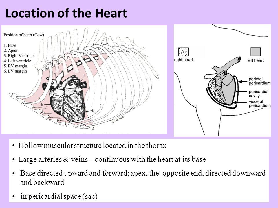 Covering of the heart - Pericardium 1.Fibrous pericardium - tough, collagenous 2.