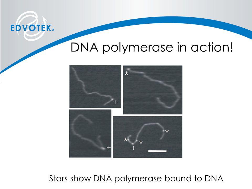 DNA polymerase in action! Stars show DNA polymerase bound to DNA